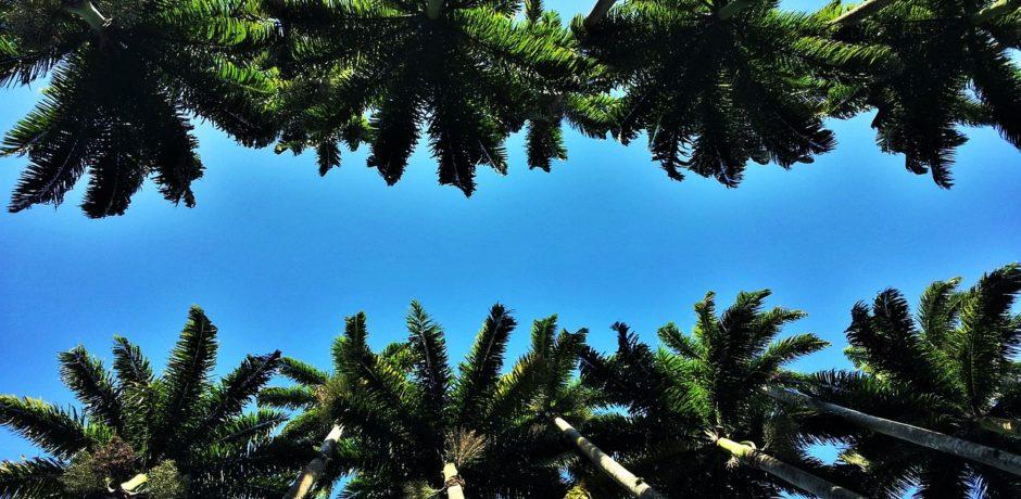 Brazil palms tress summer heads-of-royal-palms-1225882_1280