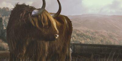 Scotland Highland Cattle Beef